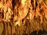 Sprzedam liście tytoniu I klasa  tel. 663-535-221