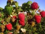 Owoce maliny Polka