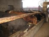bydło byki
