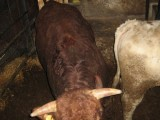 sprzedam byki mięsne w wadze ok 750 kg