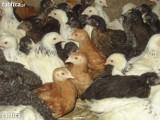 Sprzedaż kurczaków odchowanych - hurt i detal (bro