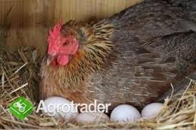 Jajka Wiejskie - zdjęcie 2