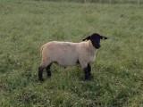 owce Suffolk i Lacaune