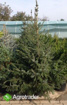 Tuje żywopłotowe i ponad 280 odmian krzewów. - zdjęcie 3