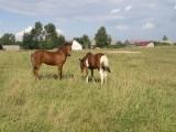 hodowla  koni huculskich na podlasiu