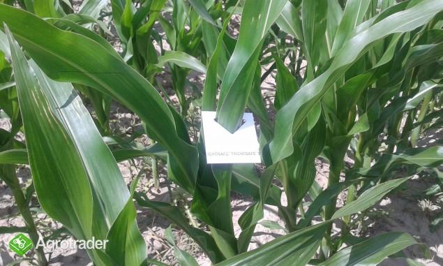 Zwalczanie omacnicy w kukurydzy