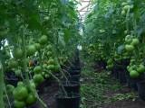 pomidory owoce