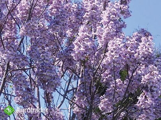 Oxytree - drzewo rosnących korzyści ( gleba: IV-VI klasa) - zdjęcie 3