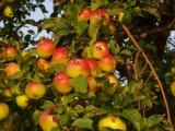 Sprzedam jabłka ekologiczne BIO certyfikowane zbiór 2016r.