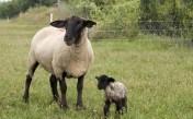 Sprzedam owce - całe stado