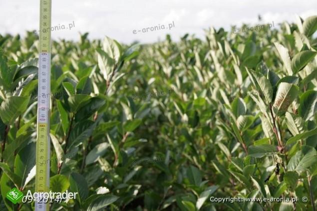 aronia sadzonki aronii 1,2,3 letnie ekologiczne - zdjęcie 2