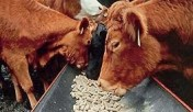 Ukraina.Wolowina,zywiec.Byki miesne 4 zl/kg,cieleta mleczne 5 zl/kg