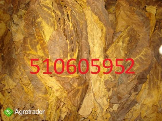 Sprzedam liście tytoniu piękne długie 100%pewne - zdjęcie 1