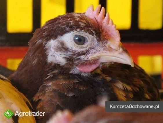 Kurczęta odchowane kury kokoszki Świętokrzyskie Starachowice Mirzec  - zdjęcie 1