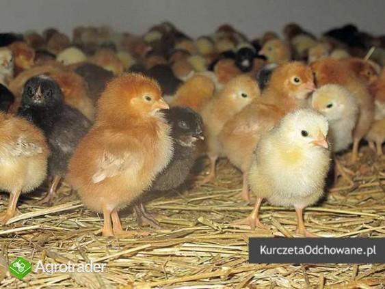 Kurczęta odchowane kury kokoszki Świętokrzyskie Starachowice Mirzec  - zdjęcie 6
