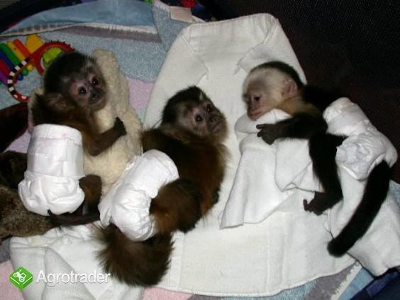 Małpy niemowląt i szympansów niemowląt