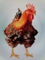 Kurczak brojler czerwono brązowy ekologia agroturystyka
