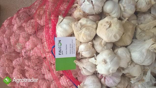 Sprzedam czosnek: pęczki, przemysłowy, obierany, chiński, hiszpański - zdjęcie 1