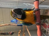 Niebieskie i złote papugi ara przygotowane