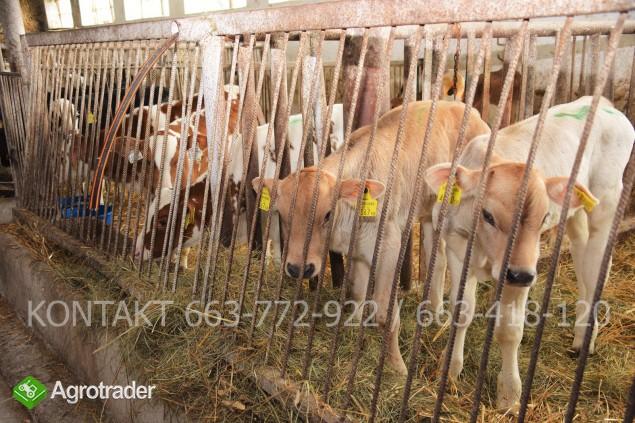 Byczki mięsne i NBC nowa dostawa - zdjęcie 5