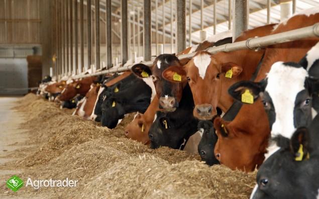 Krowy i jałówki HF holenderskie