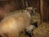 Barany i owca czarnogłówki na sprzedaż