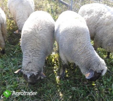 Barany i owca czarnogłówki na sprzedaż - zdjęcie 1