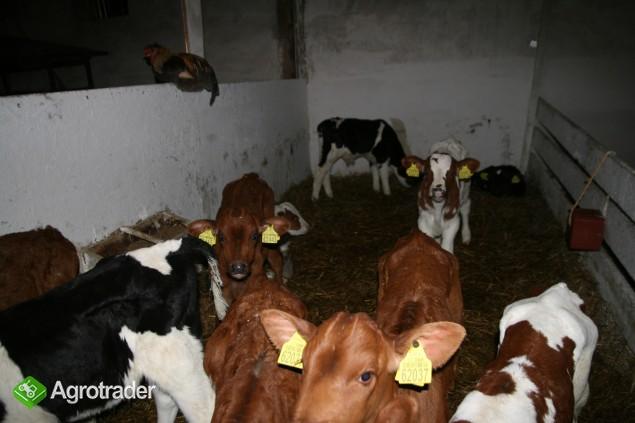 sprzedam byczki do dalszej hodowli