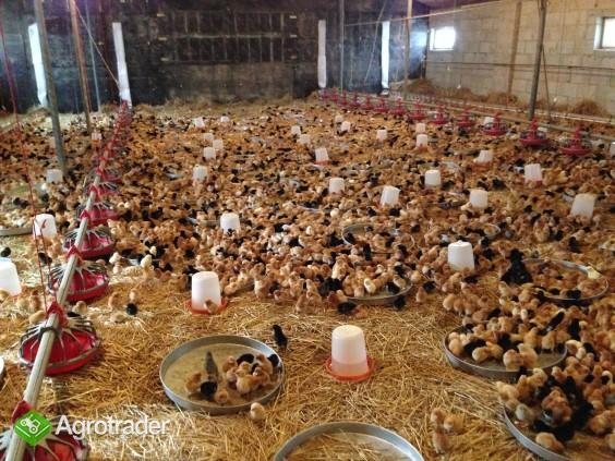 Kurczęta ochowane, indyki odchowane, brojlery odchowane - zdjęcie 1