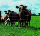 Ukraina. Krowy, bydlo opasowe 700 zl/szt. Mleko 4% cena 0,50 zl/litr