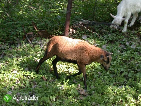 Owce Tryczki kameruńskie, Tryczka wrzosówka, Barbados. - zdjęcie 4