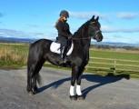 Koń na sprzedaż, fryzyjski klacz 5-letni