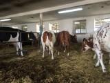 Jałówki cielne i krowy pierwiastki HF czeskie