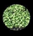 ślazowiec pensylwański  nasiona sadzonki