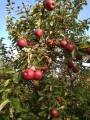 Sprzedam jabłka prosto z sadu Lobo,Kortland,Ligol,Jonagored,Gloster