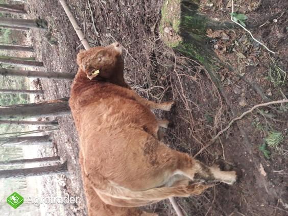 Limousine byczki - zdjęcie 1