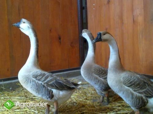 Przyjmujemy zamówienia na perliczki, kaczki, gęsi, indyki, przepiórki - zdjęcie 3