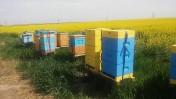 zapylanie upraw przez pszczoły