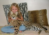 Serval, Ocelots, Savannah kittens and Bengal Tigar