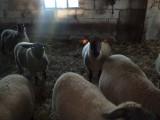 sprzedam owce soffolk