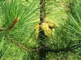 Sosna Czarna (Pinus Nigra) 150cm TANIO