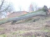 drzewo lipy