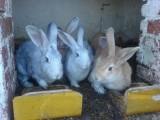 króliki miesne
