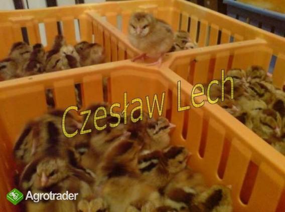 Kurczęta odchowane - zdjęcie 3