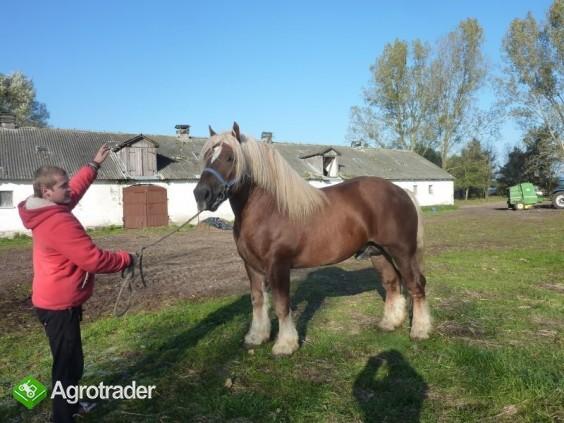 Sprzedam konie zimnokrwiste (duży wybór) - zdjęcie 4