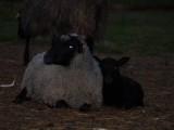 Sprzedam stado owiec rasy wrzosówka - 31 sztuk