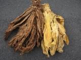 Tytoń liscie tytoniu virginia burley