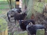 Owieczki Wrzosówki